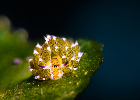 Nudibranch - Costasiella
