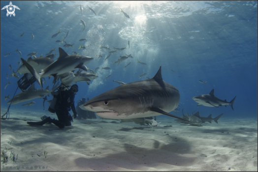 Lemonshark and tigersharks in Bahamas
