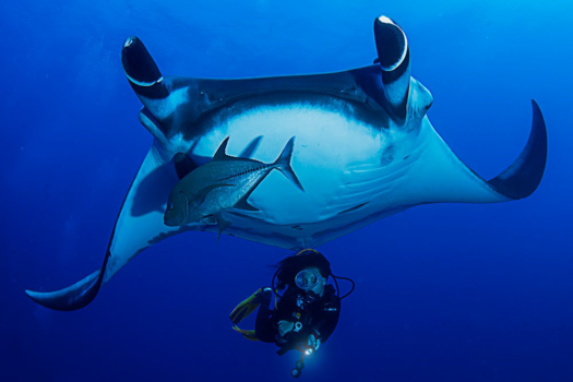 Manta Ray in Revillagigedo Archipelago