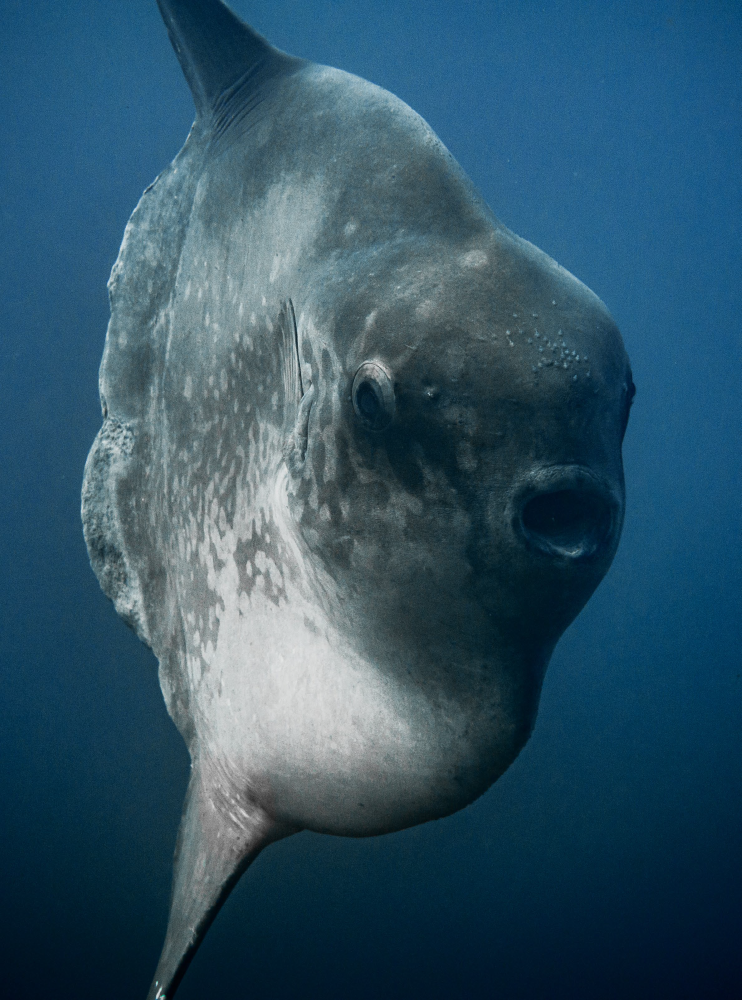 Underwater photography - Mola in Bali