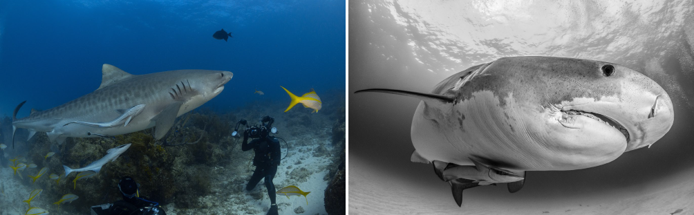 Diving and underwater photography in Tiger Beach in Grand Bahama