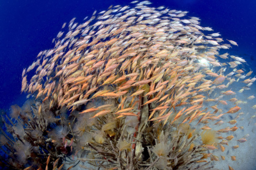 Trumpetfish and Snipefishes