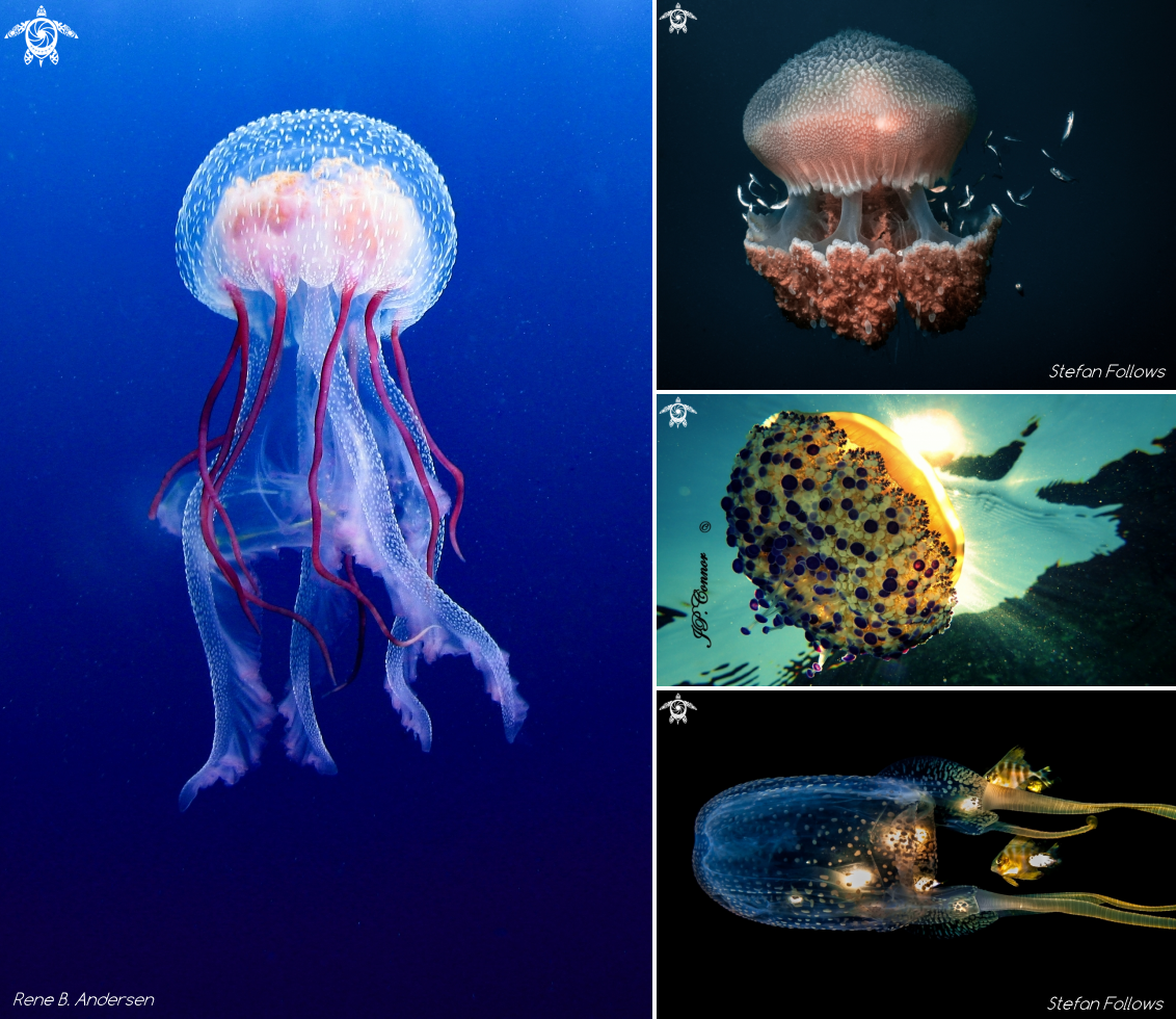 Different types of jellyfish