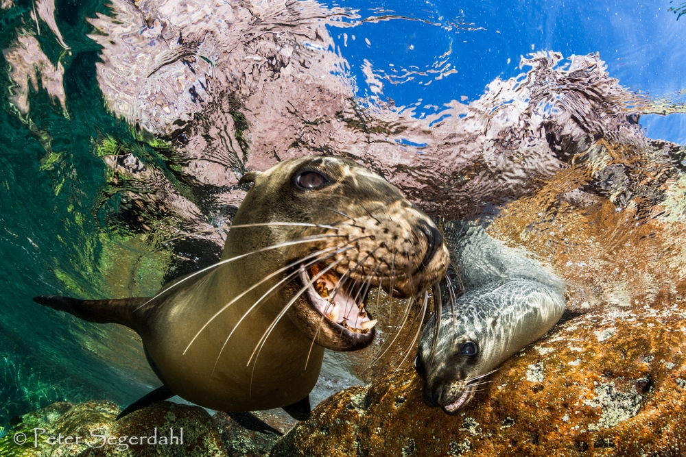 16 th CMASWorld competition Close up Seal winner