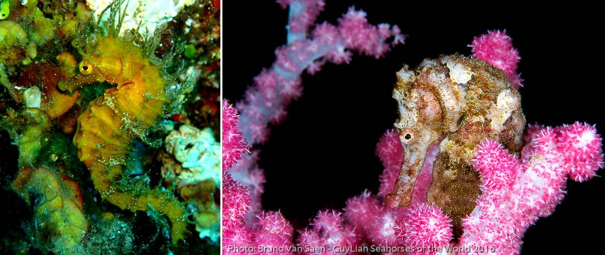 Seahorses species