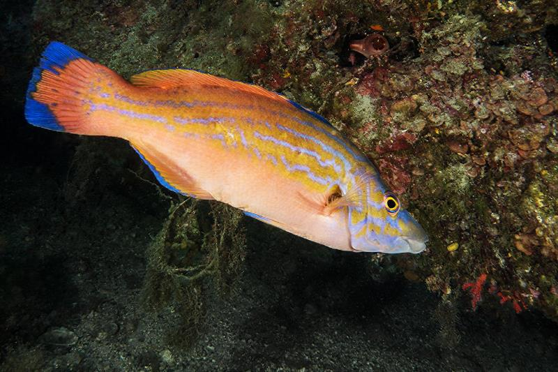 Colors and physiognomy of the dominant male of Cuckoo Wrasse