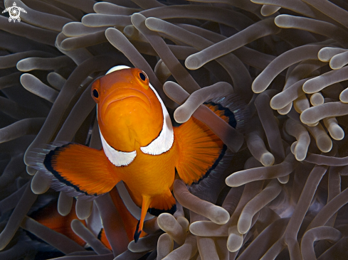 A False clown Anemonefish (Clownfish)