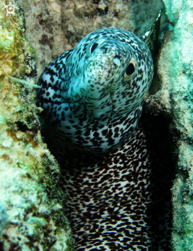 A spotted moray eel