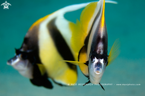 A Red-Sea Bannerfish