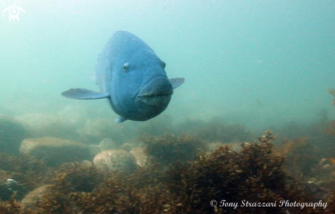 A Blue groper (Eastern blue wrasse)