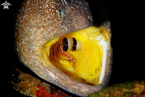 A Moray & cleaning shrimp