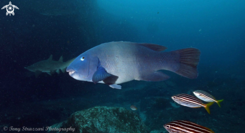 A Eastern Blue Wrasse