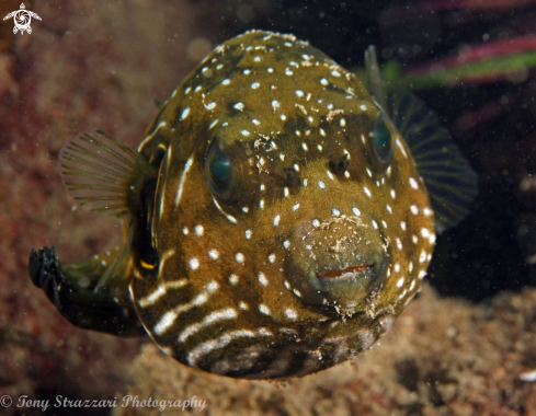 A Stars and stripes pufferfish
