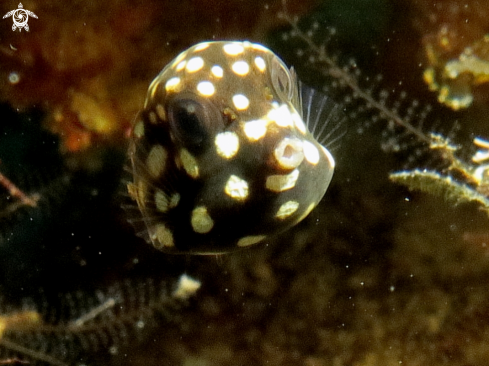 A White spotted baby Boxfish