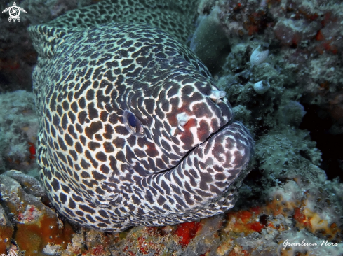 A Laced moray