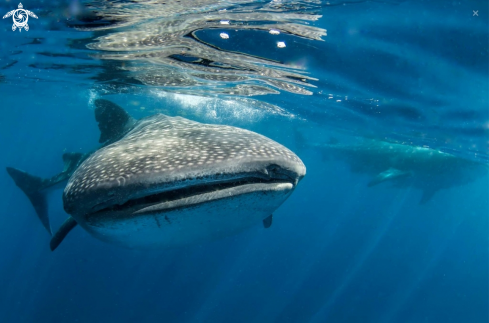 A Rynchodon  typus | Whale sharks