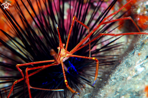 A Yellowline Arrow Crab & Sea Urchin