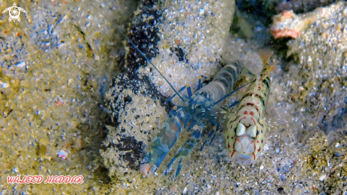 A Goby fish and Shrimp