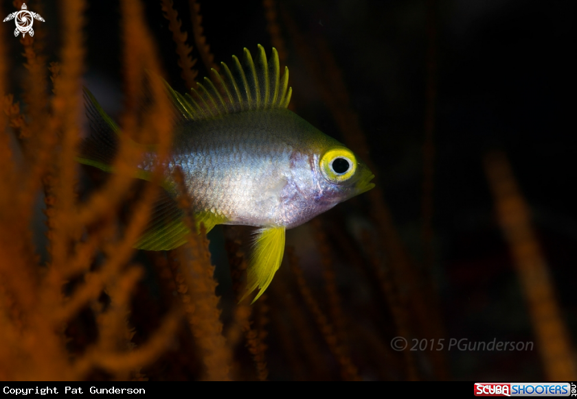 A Golden Damselfish, juv.