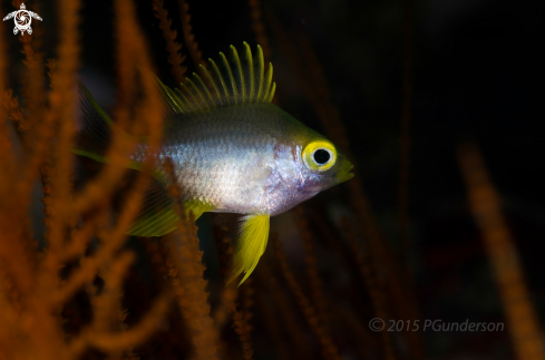 A Amblyglyphidodon aureus, I think | Golden Damselfish, juv.