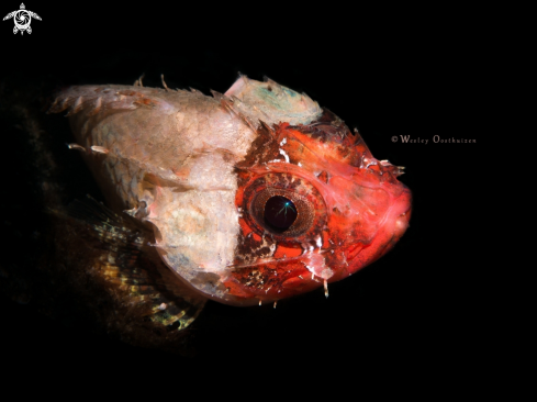 A Scorpaenodes parvipinnis | Lowfin Scorpionfish
