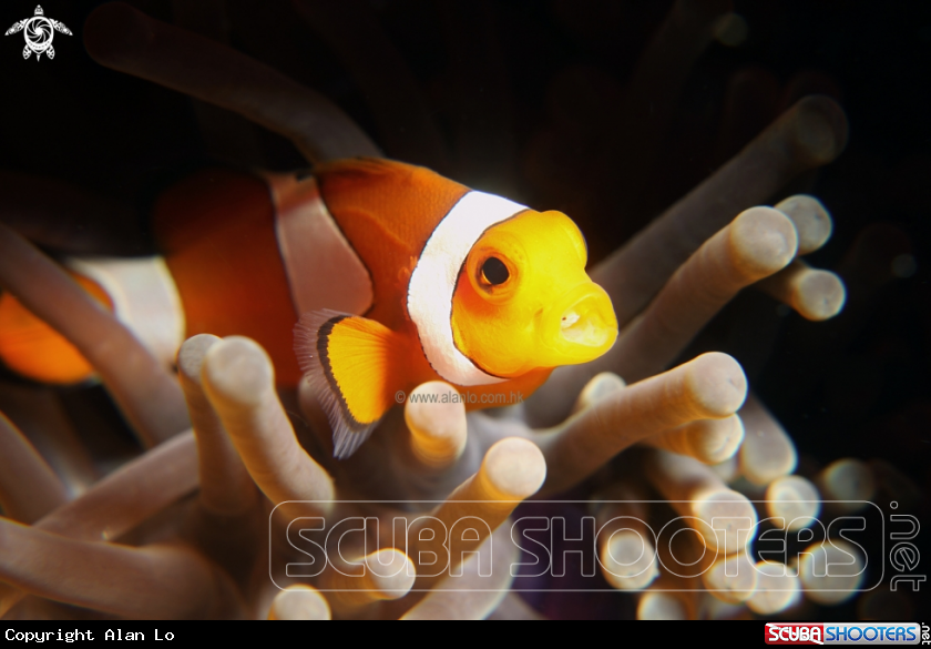 nemo with parasite
