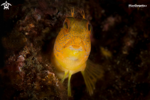 The blenny