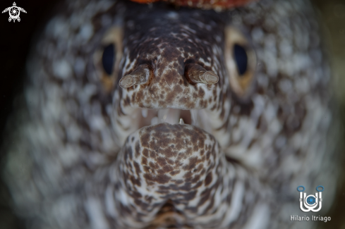 A Spotted Moray