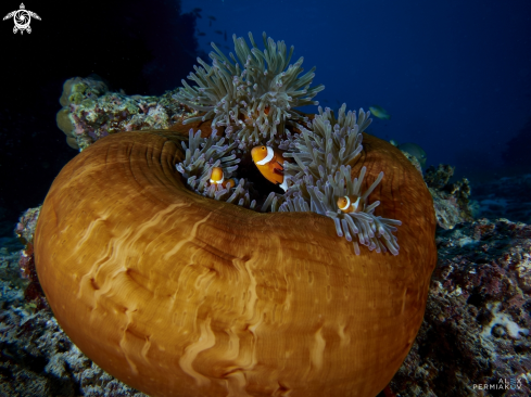 A Amphipriones in anemone
