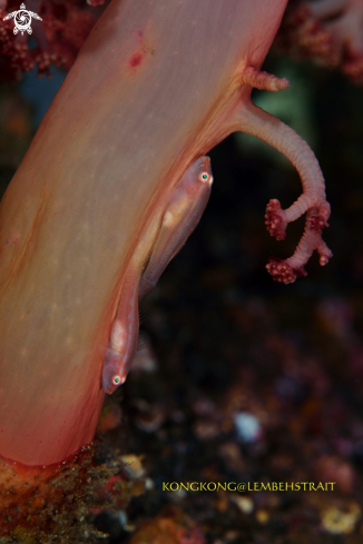 A Red Gobies