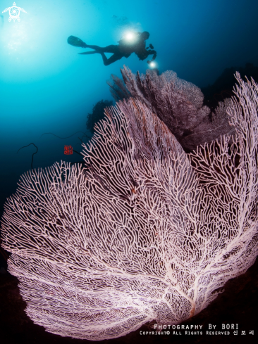 A Sea Fan with a diver