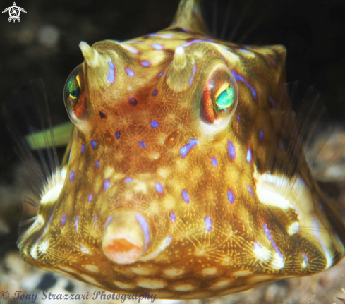 A Thornbacked cowfish