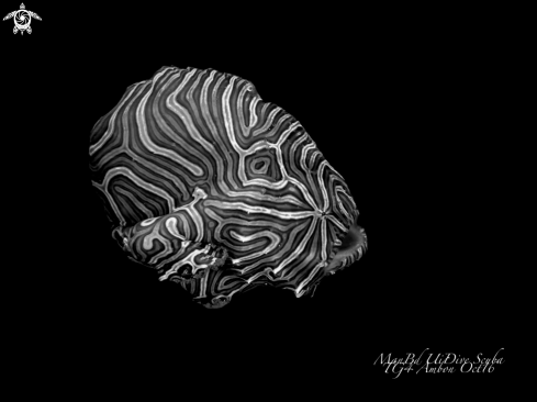 A Histiophryne psychedelica | Frogfish