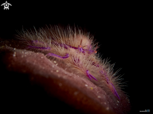 A Pink hairy squat lobster