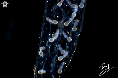 A Squid Eggs