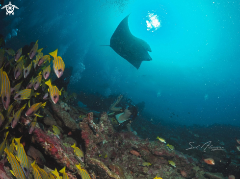 A manta ray and blue lined snappers