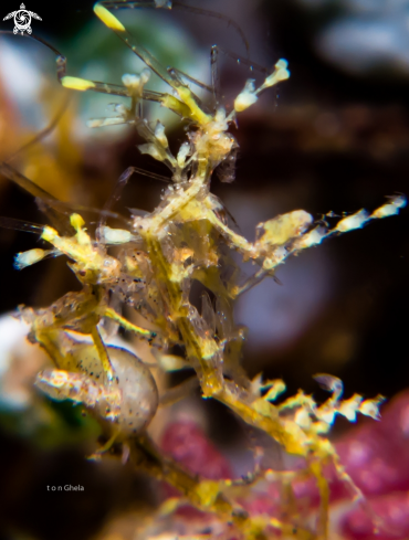 A Caprella sp. | Pregnant Skeleton Shrimp