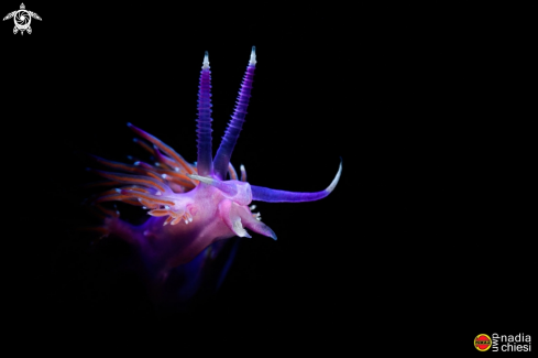 A Flabellina affinis