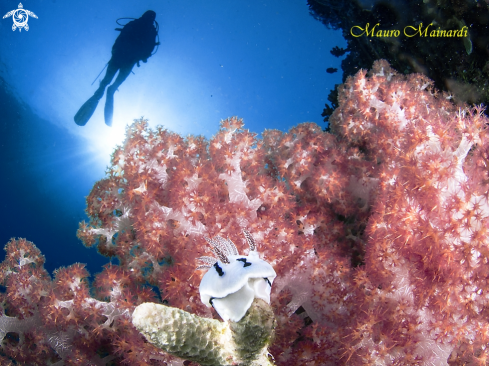 A Soft corals and diver