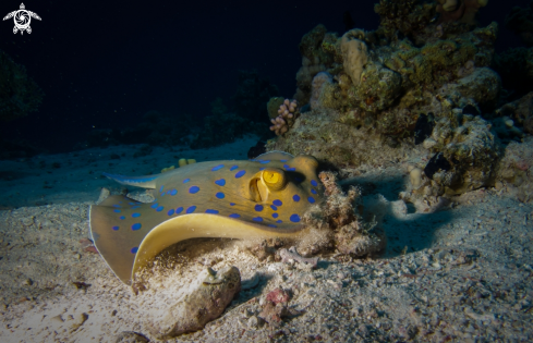 A Blue Spotted Stingray
