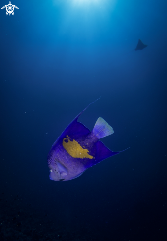 A Pomacanthus Maculosus, Aetobatus Narinari | Red Sea Angelfish, Eagle Ray