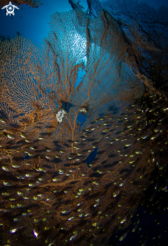 A Gorgonia Sea Fan, Glassfish