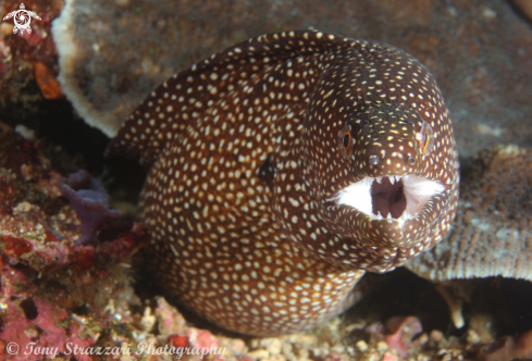 A Yellow spotted moray