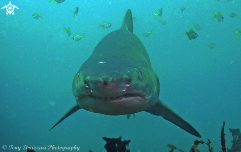 A Grey Nurse Shark