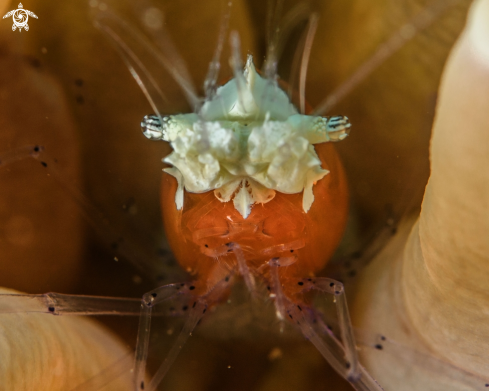 Underwater Photos Of Popcorn Shrimp