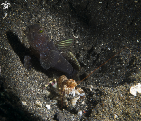 A Goby and Comensal Shrimp