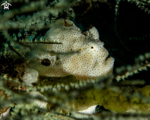 The Painted frogfish