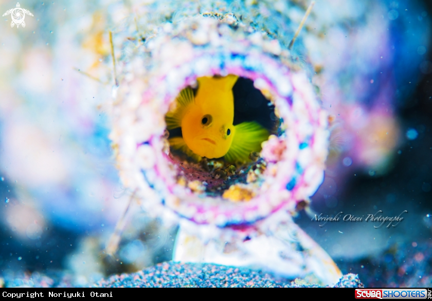A Yellow pygmy-goby