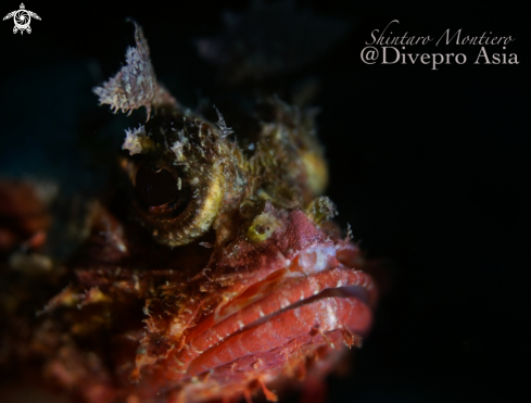 A Scorpaenidae | Scorpion Fish