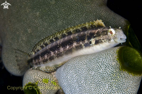 A goby fish